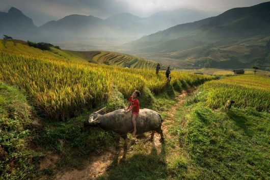 The buffalo in Vietnamese culture and life